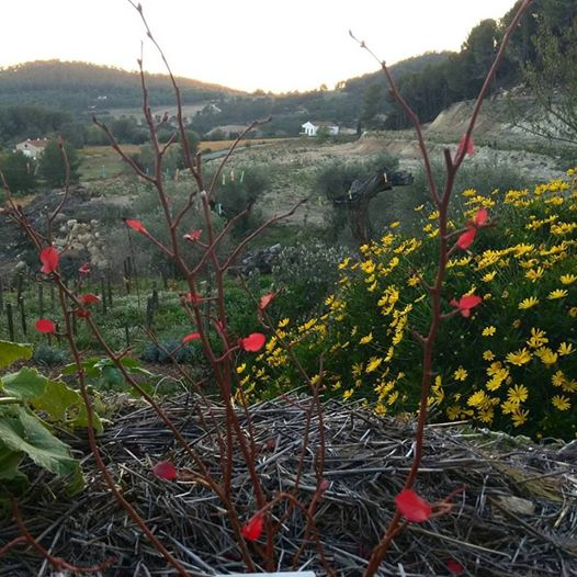 Red-leaves-on-blueberry-bush