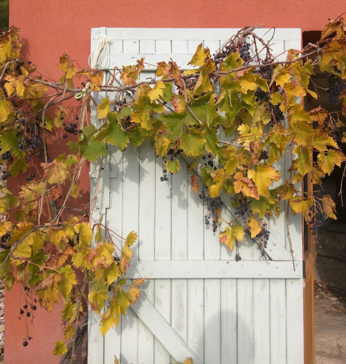 climbing vines south of france window shutters