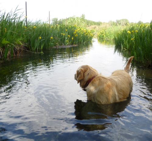 golden retriever yellow irises stream canal reflection rhone water dog chien ruisseau