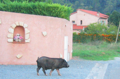 Sanglier wild boar France niche pyracanthis