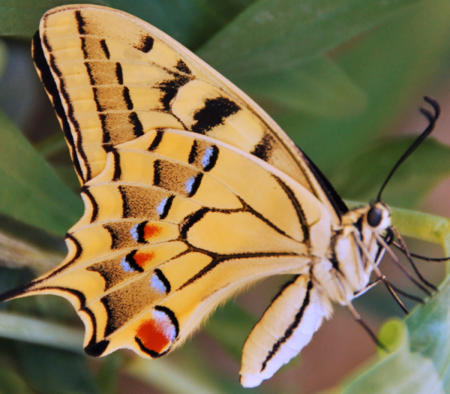 Papillon butterfly in French