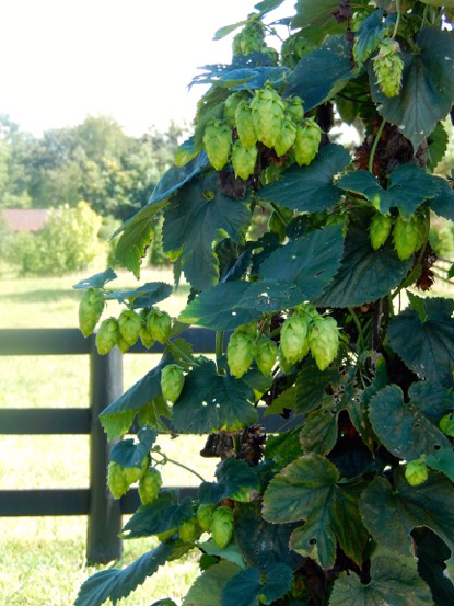 Hops plant photo by Eileen deCamp