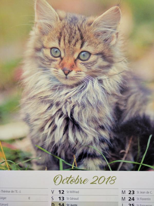 Kitten calendar french