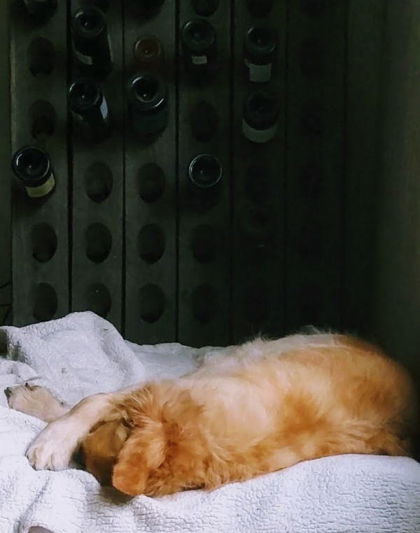 Golden retriever smokey resting after his walk