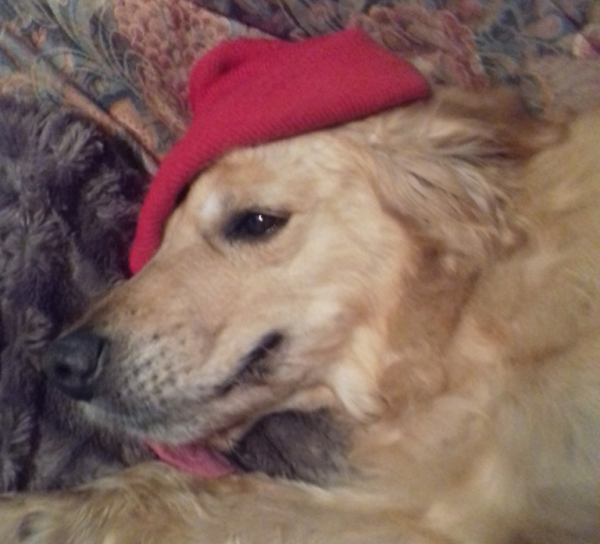 Smokey golden retriever red beret artist