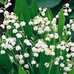 Muguet lily of the valley lys des vallees, may 1st French tradition