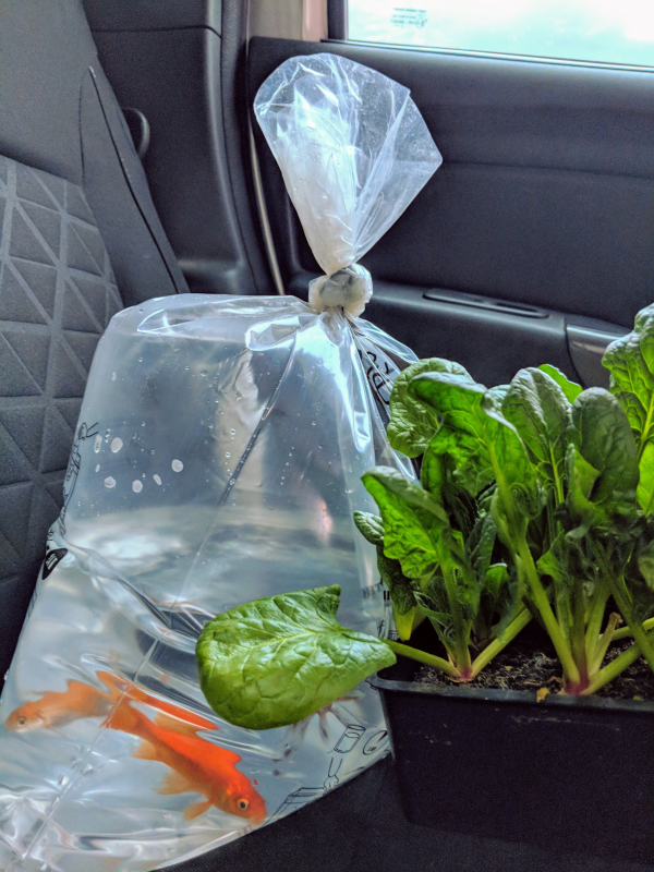 Poisson fish for pond fountain epinards spinach for garden