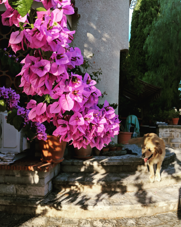 Smokey and bougainvillea