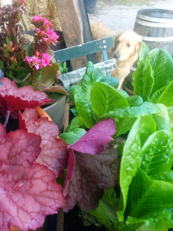 Smokey lettuces