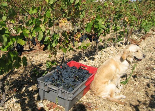 Breizh grapes