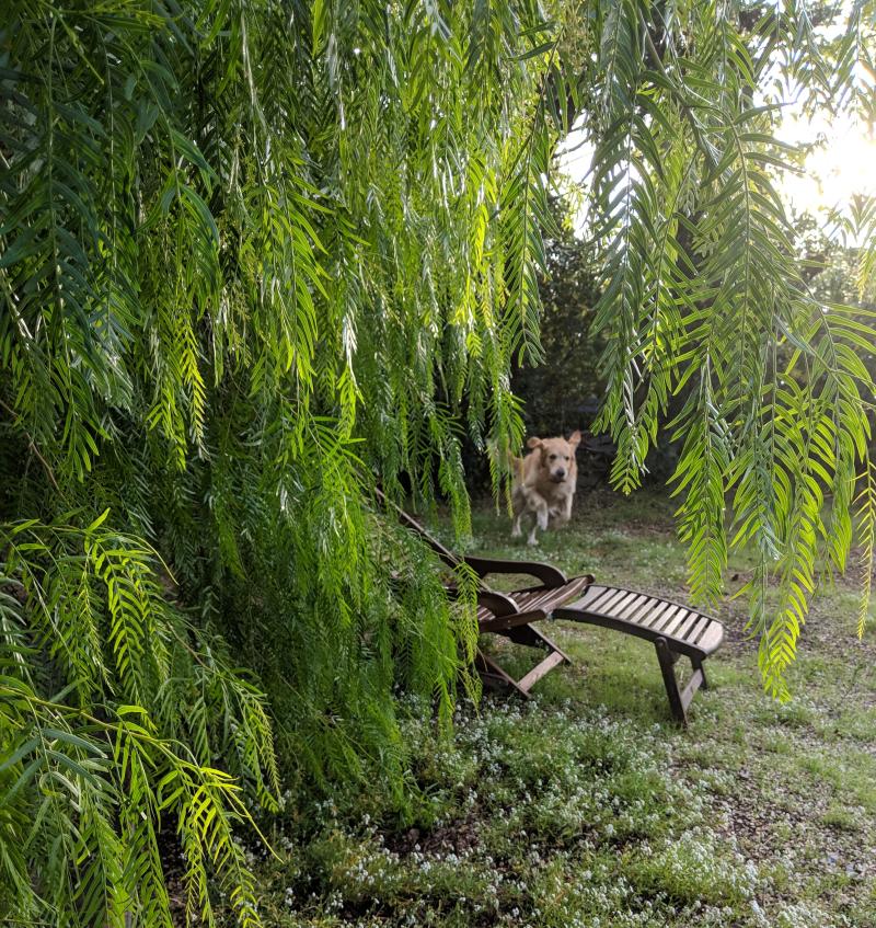 Smokey jumping beside pepper tree poivrier
