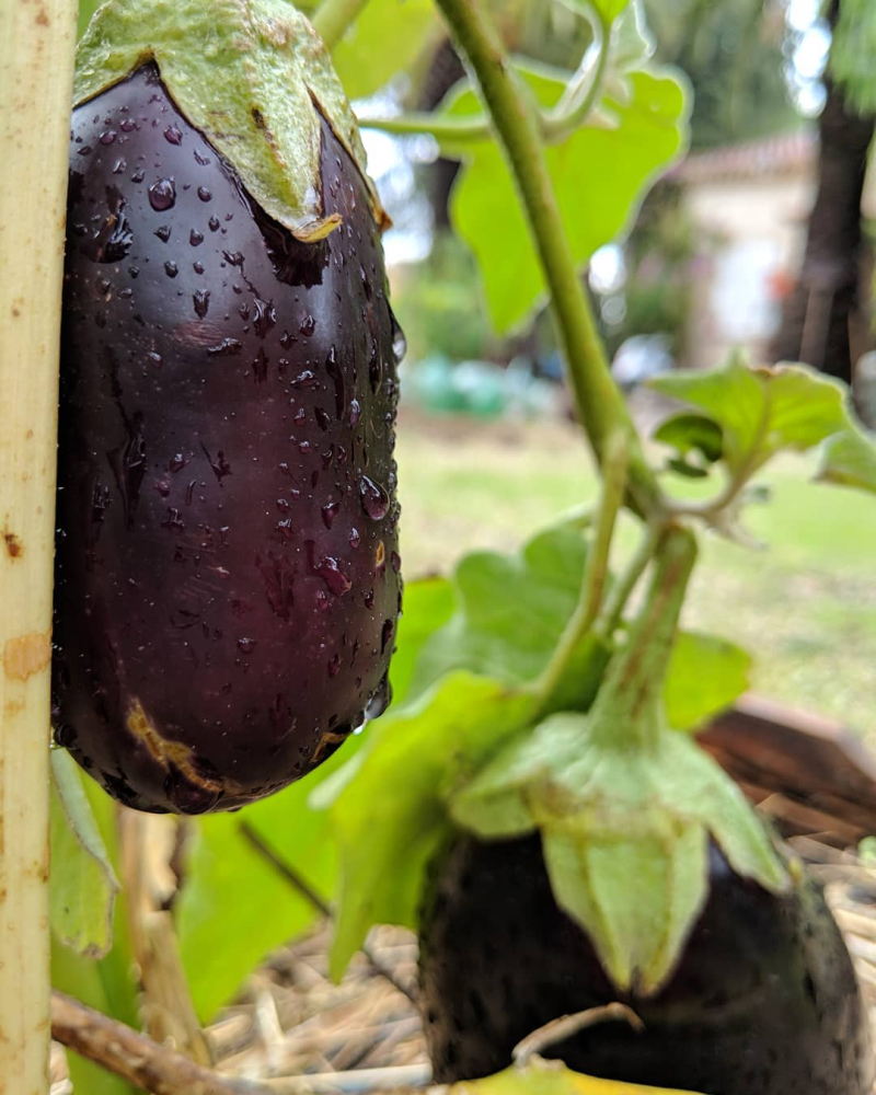 Eggplant aubergine raindrops gouttes pluie potager garden france