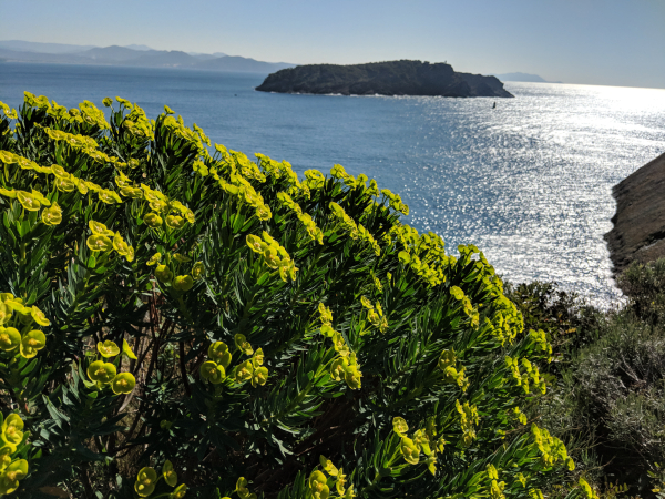Yellow euphorbia and a euphoric view of the bay and the Green Island (1)