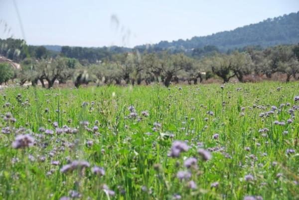 Field of phacelia