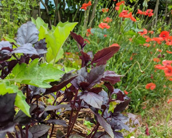 Purple basil coquelicots
