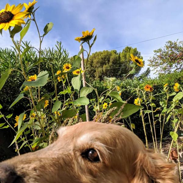 Sunflowers and smokey golden retriever
