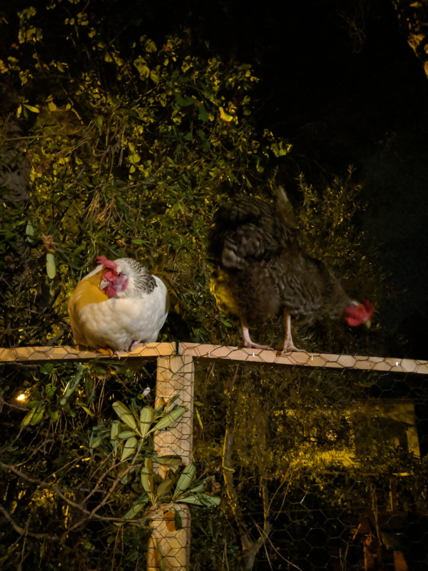 Poules chickens hens