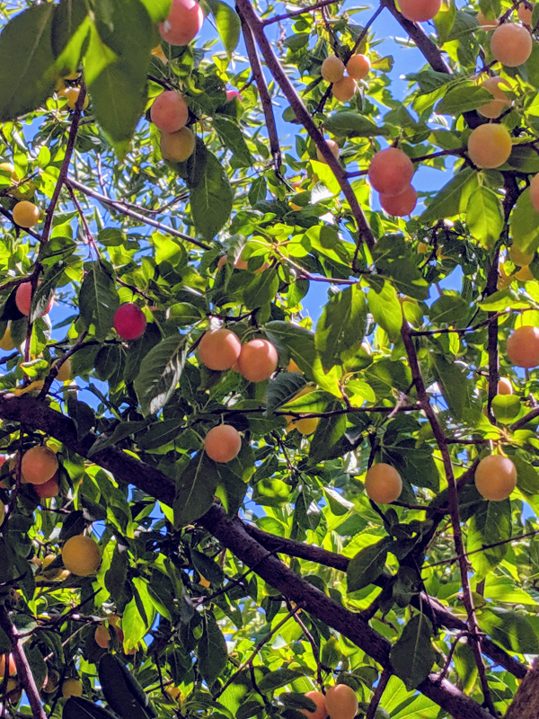 Mirabel plum tree