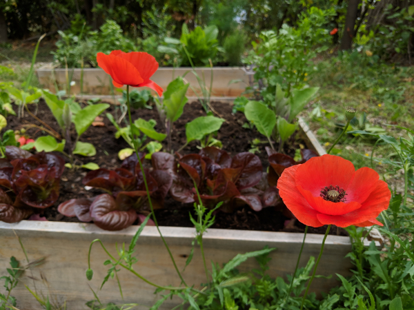 Lettuce poppies permaculture victory garden