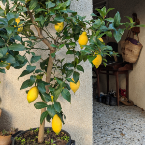 Lemon tree entrance