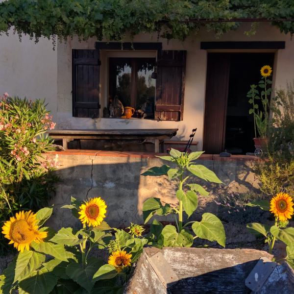 Sunflowers at mas des brun
