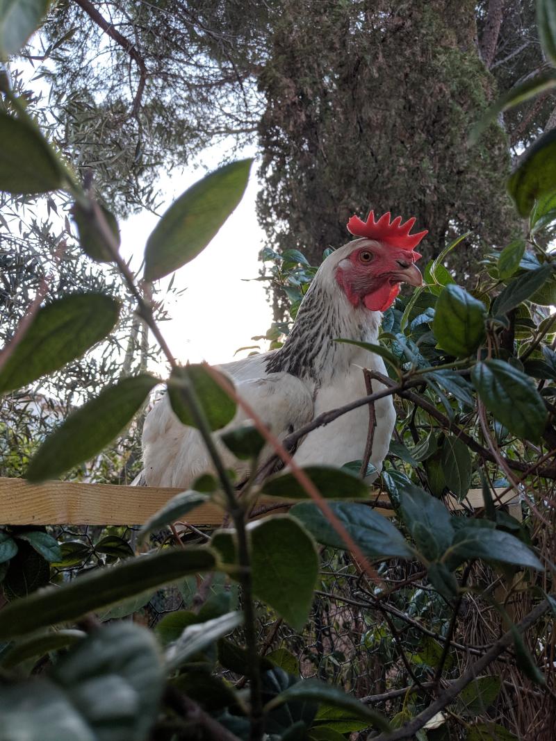 Mama chicken hen
