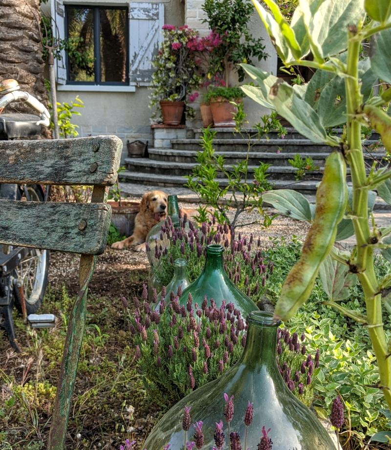 Smokey golden retriever lavender jugs wooden shutters