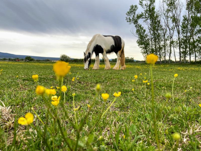Irish cob horse in provence