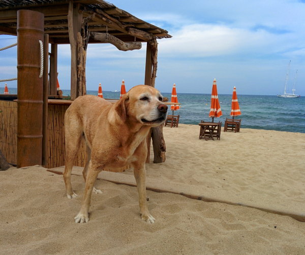 Dog chien on the beach in st tropez