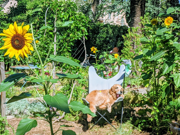golden retriever dog chien sunflowers
