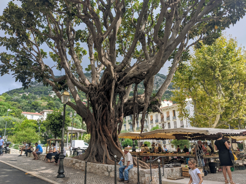 Tree in beaulieu-sur-mer market square