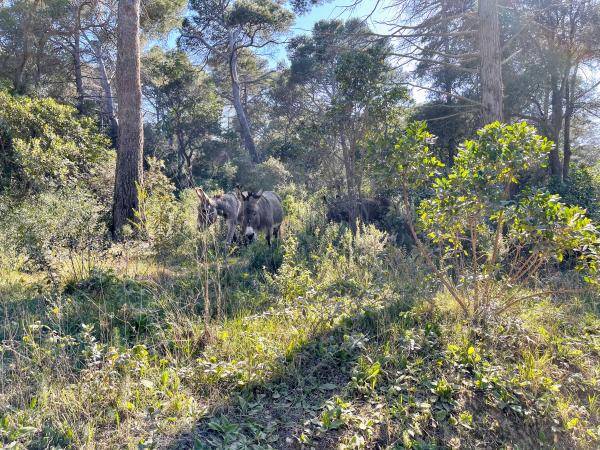 Donkeys on porquerolles island