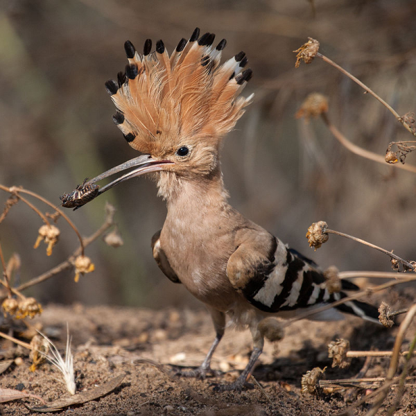 Hoopoe_with_insect