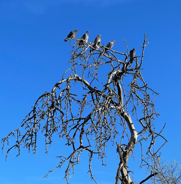 pigeons in tree