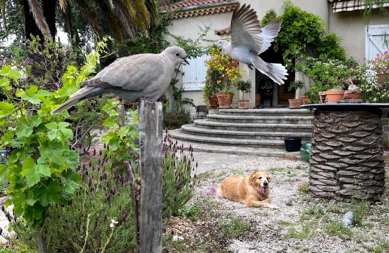 Dove  golden retriever  garden
