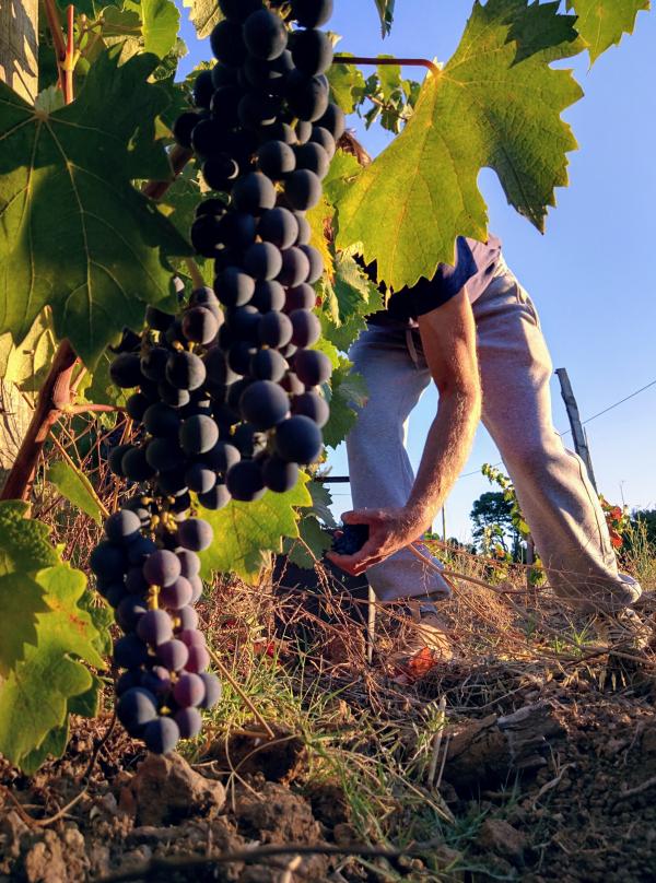 Venddange jean-marc harvesting grapes in st cyr sur mer south of france