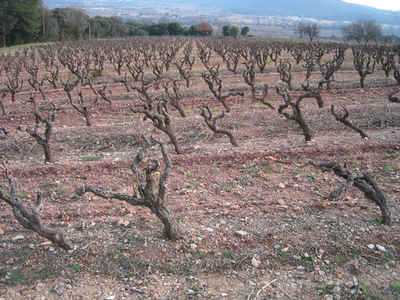 field of sleeping grape vines (c) Kristin Espinasse