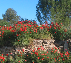 poppies in provence (c) Kristin Espinasse